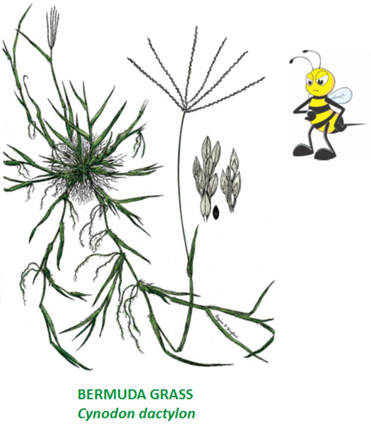 bermuda grass with bee